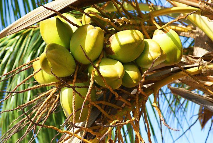 Coconuts1.jpg